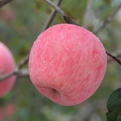 新鲜洛川苹果 陕西延安无蜡脆甜红富士 精品纸袋80#大果 5斤装 约9果