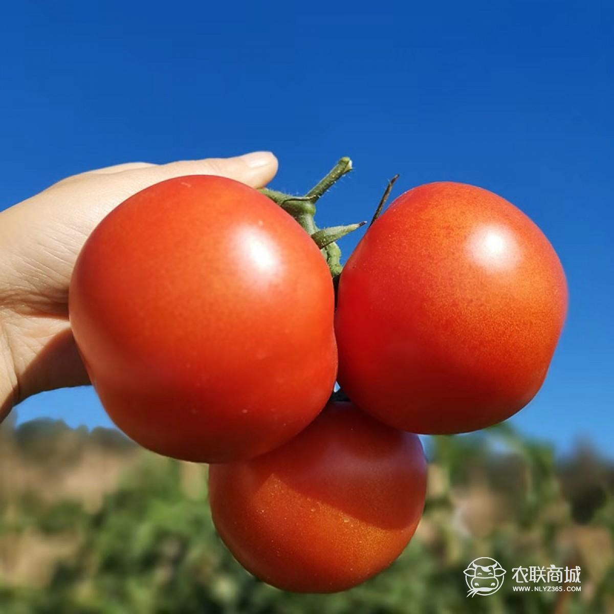 攀枝花露天西红柿  阳光孕育的西红柿 5斤包邮