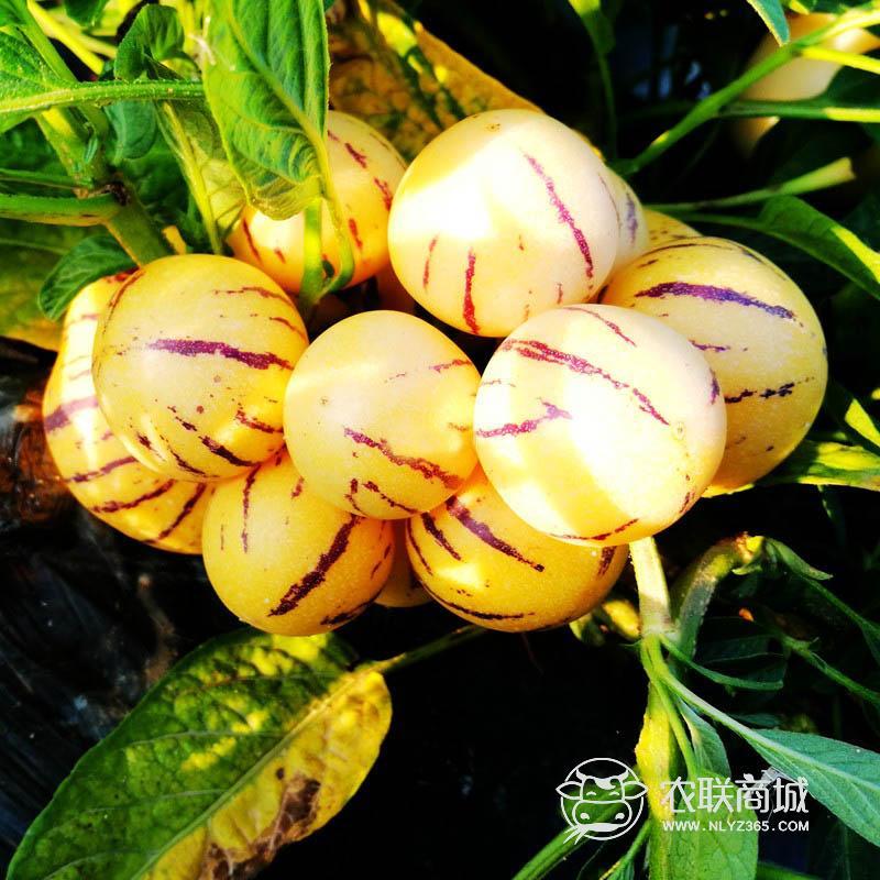 云南高原人参果 味甜多汁新鲜水果5斤30个左右